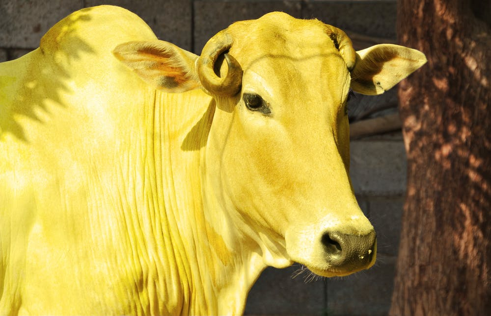 Picture of Yellow Cow